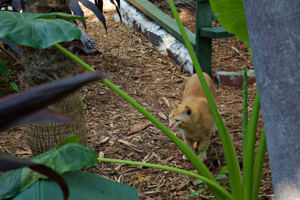 Hemingway House- Orange cat in the garden