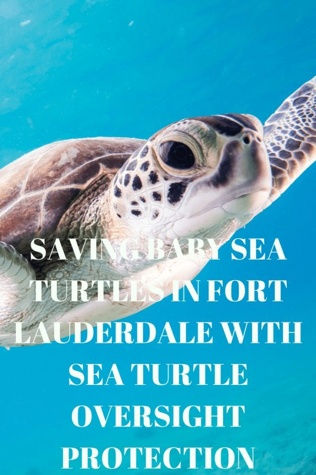 Can you imagine anything more vulnerable than baby sea turtles? Turtle Treks save sea turtles from the bright lights of South Florida & give you an unforgettable experience.