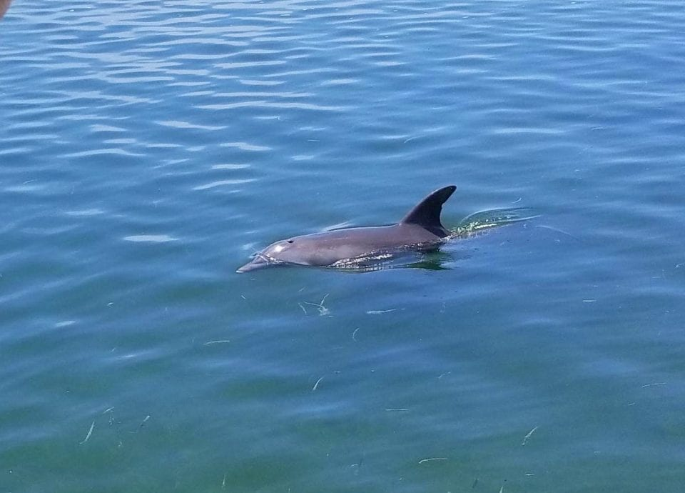 View of a dolphin from a sailboat tour