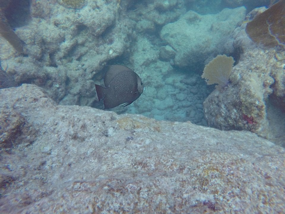 Key West Angelfish seen from snorkeling