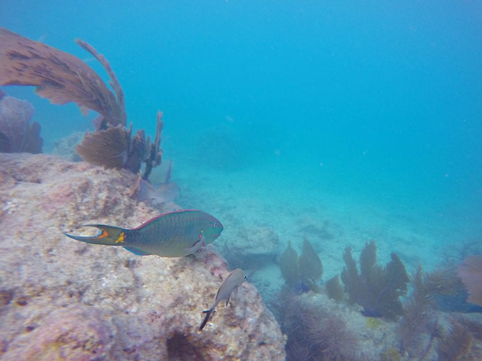 Parrot Fish on Key West reef