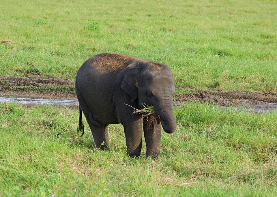 Baby Elephant eating Kaudulla National Park