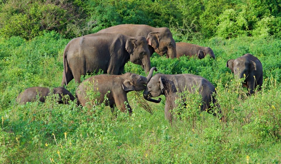 Elephant family in Kaudulla National Park - Photo Jenn Coleman