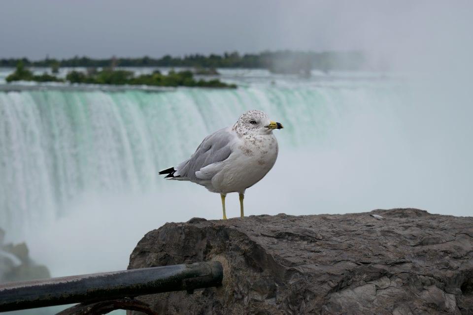 Niagara Falls- Horseshoe Falls Seagull closeup