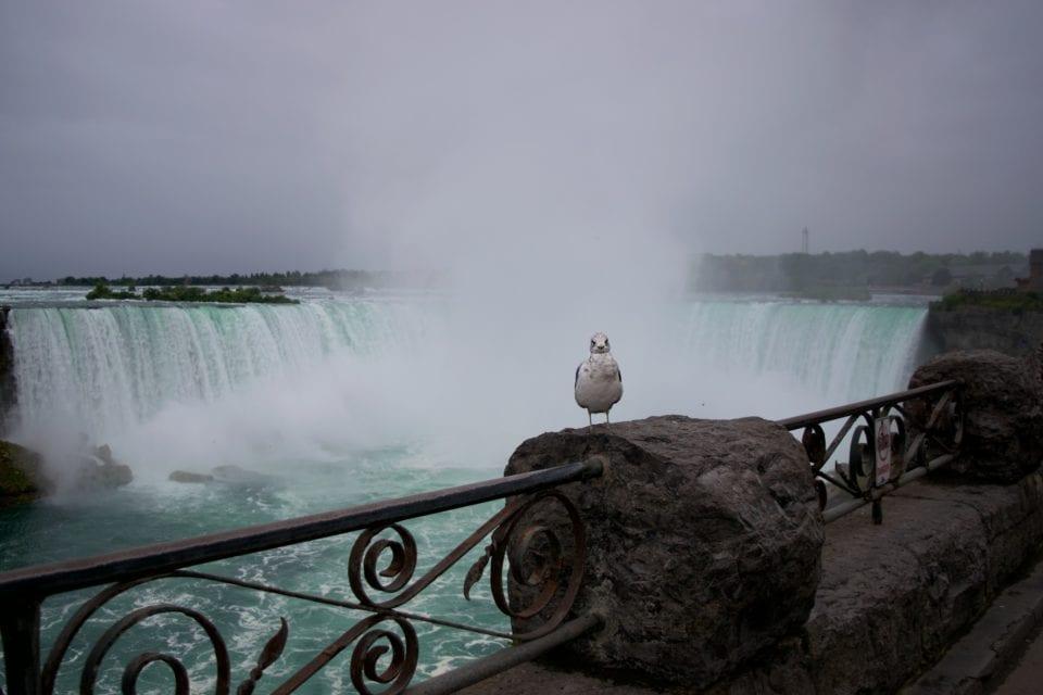 Niagara Falls- Horseshoe Falls Seagull