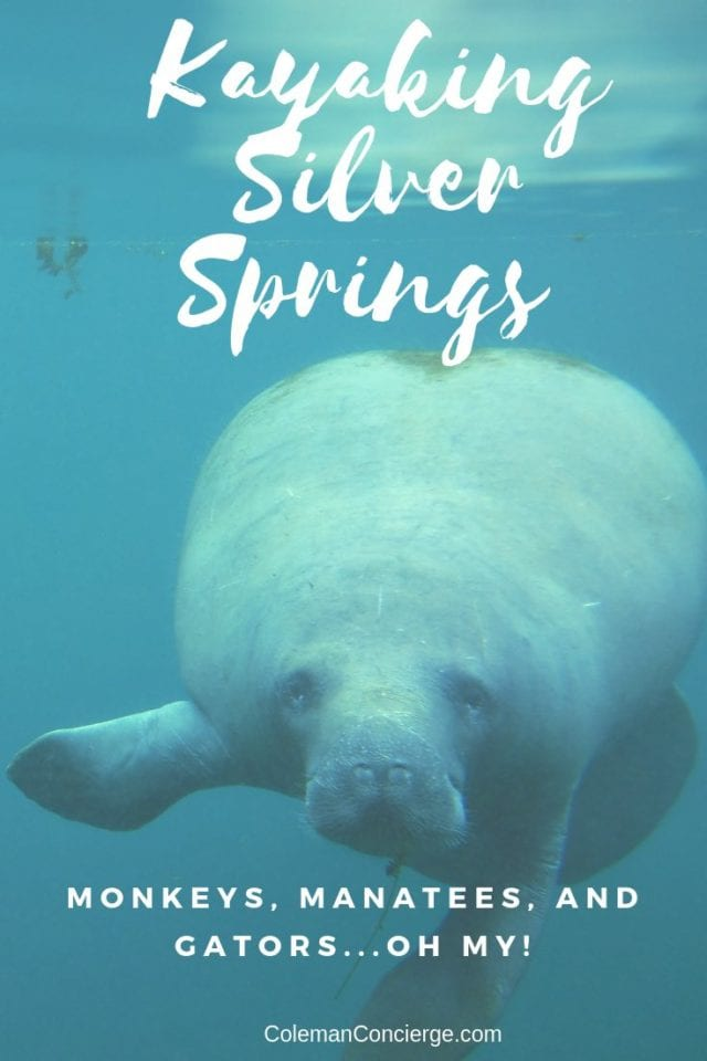 Manatee underwater at Silver Springs State Park