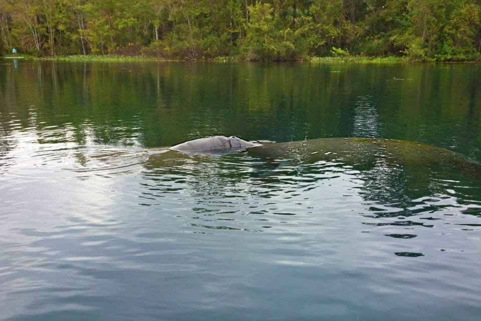 Manatees making out Silver River