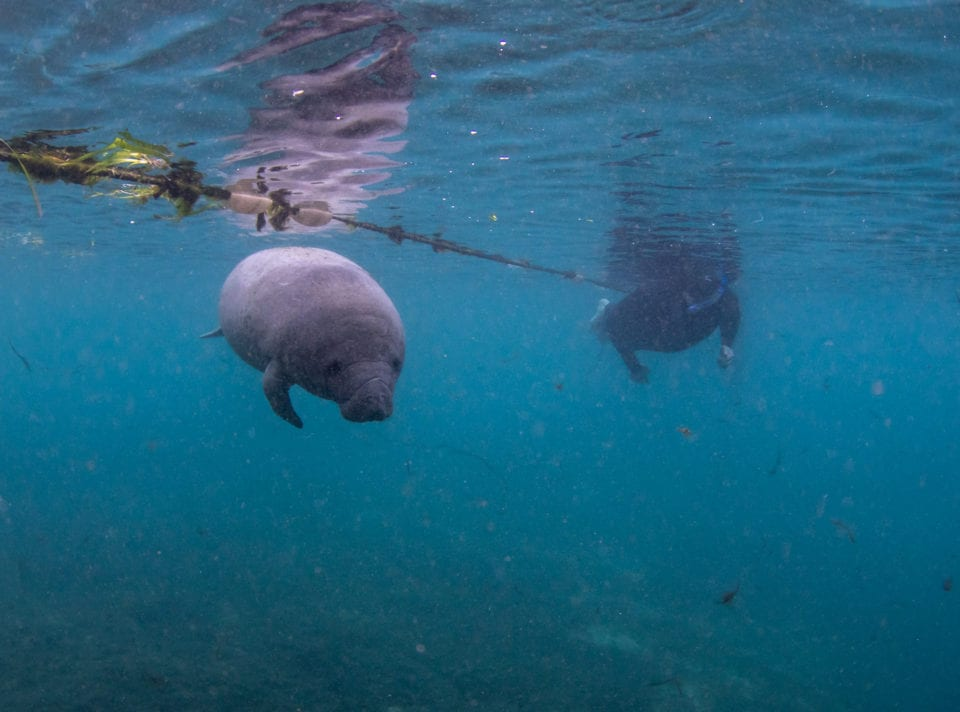 Ed Manatee swimming with manatees (photo by Eric FIsher)
