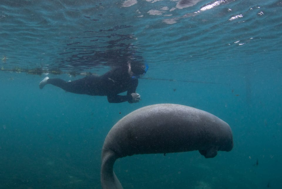 Ed Swimming with a baby manatee (photo by Eric Fisher)