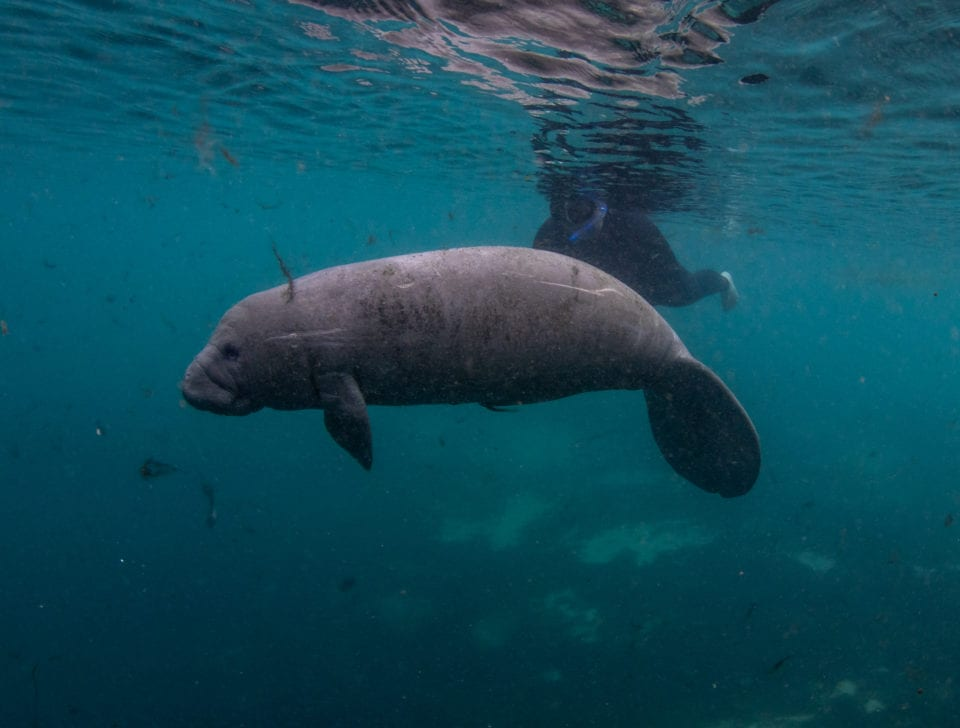 Self guided tour swimming with manatees (Photo by Eric Fisher)