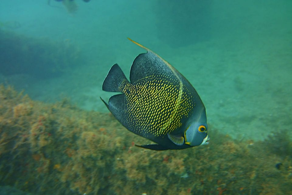 French angelfish @ Blue Heron Bridge