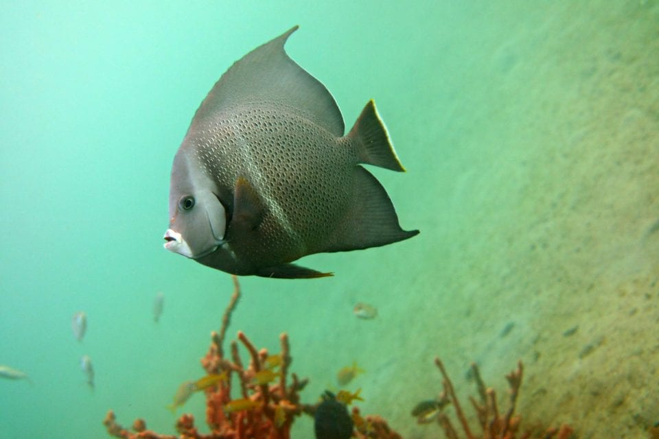 Grey angelfish @ Blue Heron Bridge