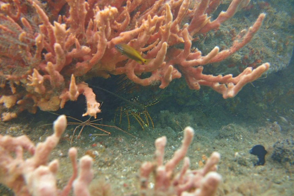 Juvenile lobster in coral @ Blue Heron Bridge