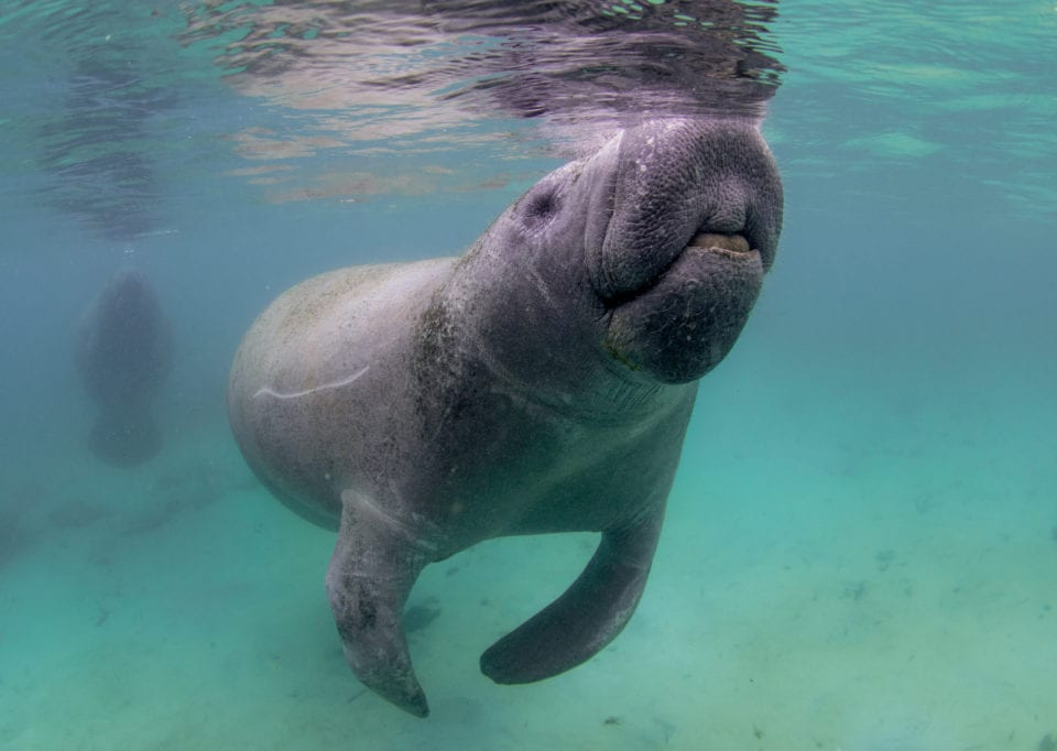 Baby manatee getting curious (Photo credit Eric Fisher)