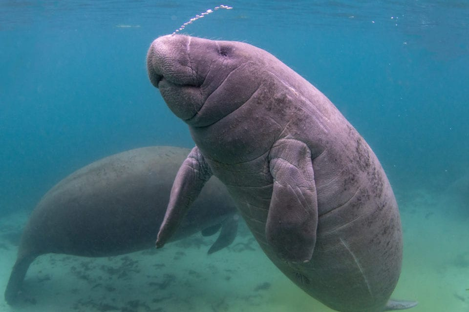 Swimming with Manatees in Florida – Everything You Need to Know