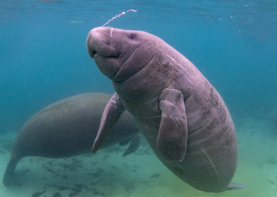 Manatees in Crystal River - our favorite Florida animal (photo credit Eric Fisher)