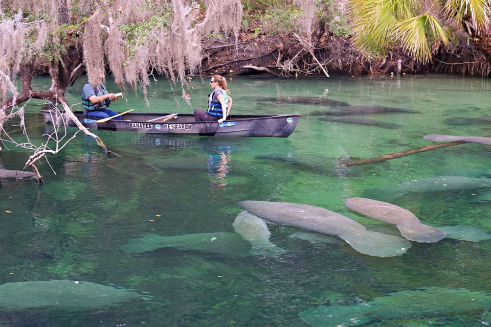 Manatee survey at Blue Springs