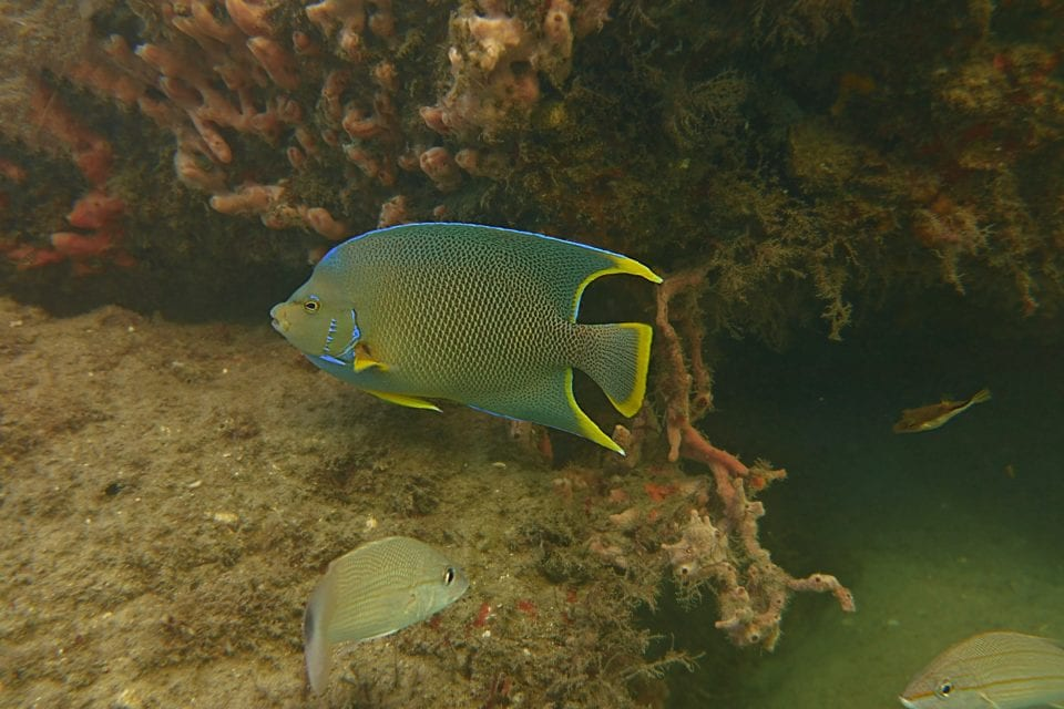 Queen Angelfish Blue Heron Bridge