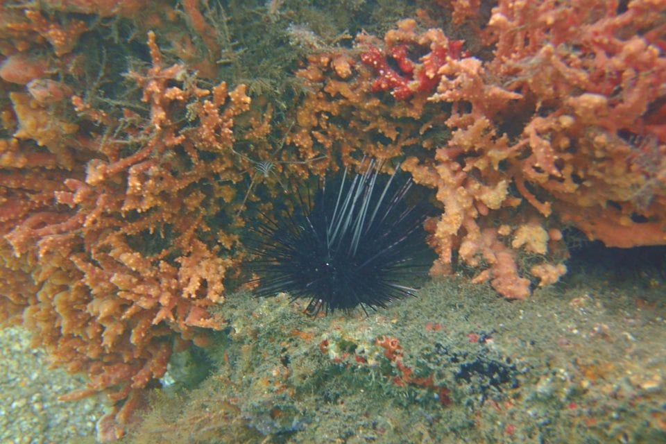 Sea urchin @ Blue Heron Bridge