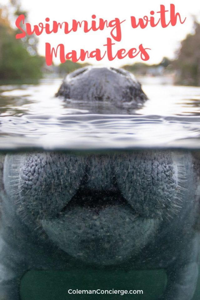 Close up on manatee nose