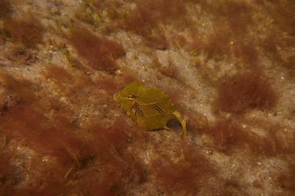Trunkfish in the flats swimming to the bridge