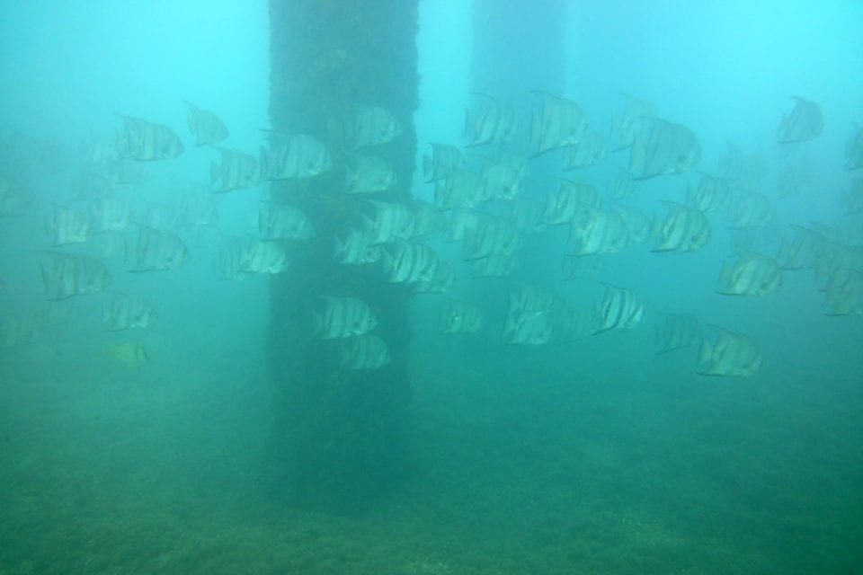river of banded angelfish by pilings @ Blue Heron Bridge