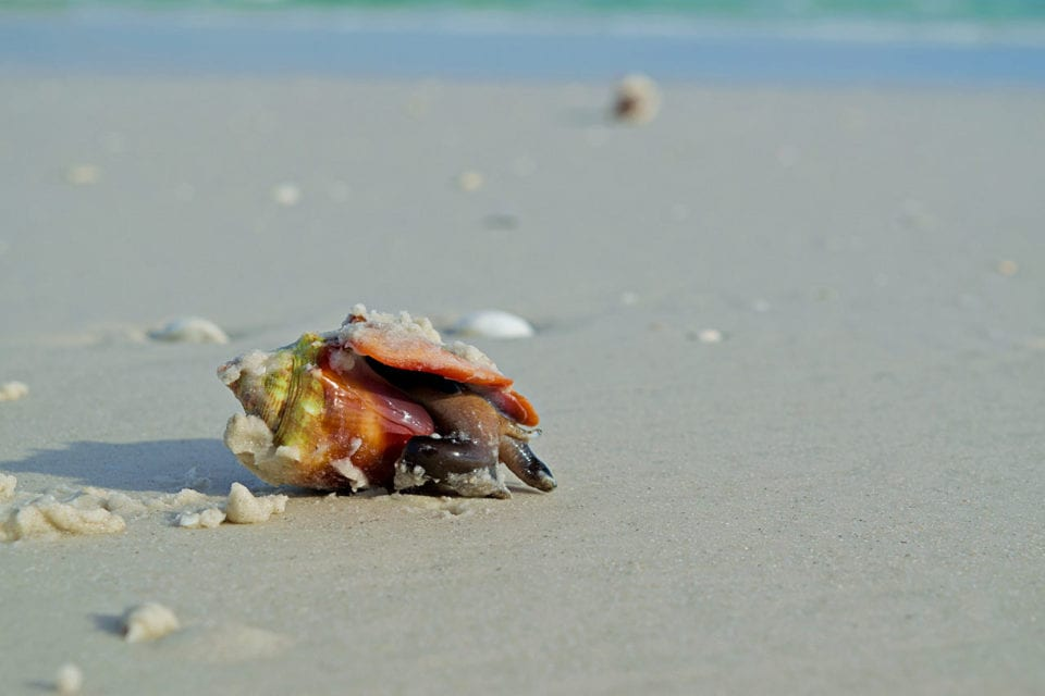 Fighting Conch at Siesta Key