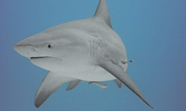 Diving with Sharks in Playa Del Carmen-What You Need to Know and Should Consider