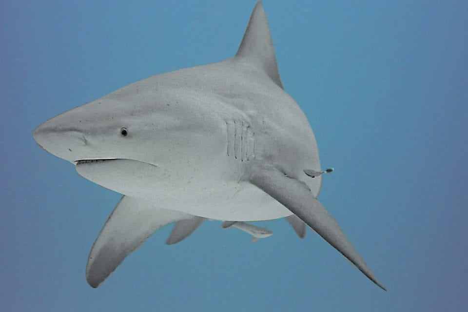 Bull shark dive at Playa Del Carmen
