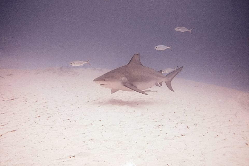 Bull shark and fish
