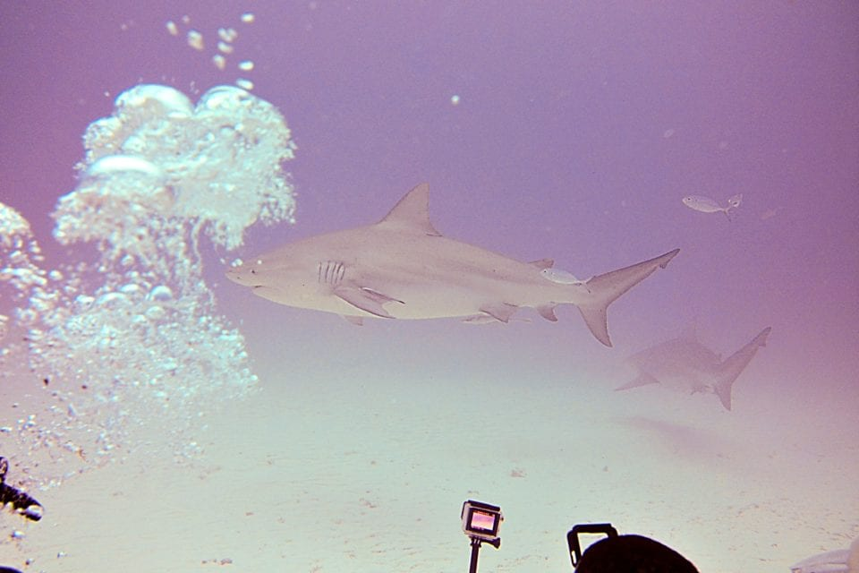 Diver and Bull shark