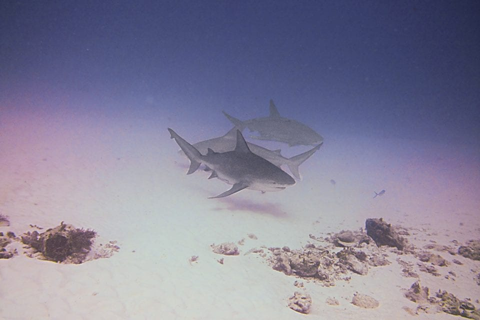 Group of Bull sharks