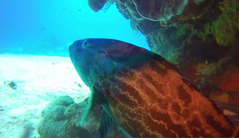 Grouper Cozumel via Scuba Life Cozumel