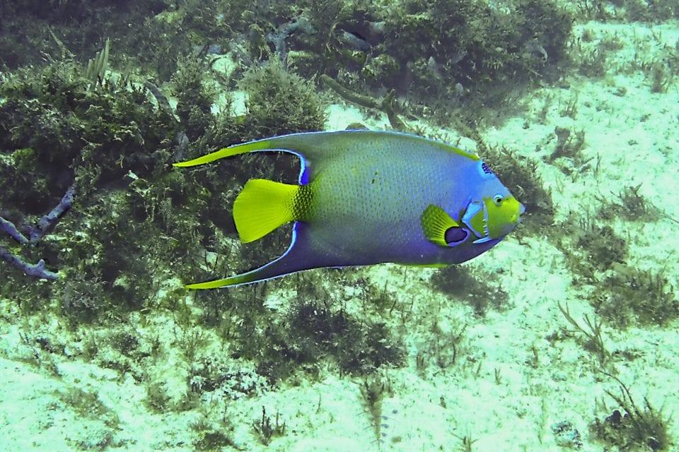 Queen Angelfish Cozumel