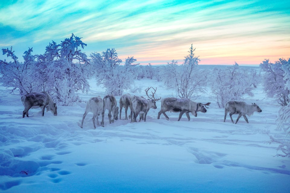 Reindeer at Sami Homestay via Alice Ford