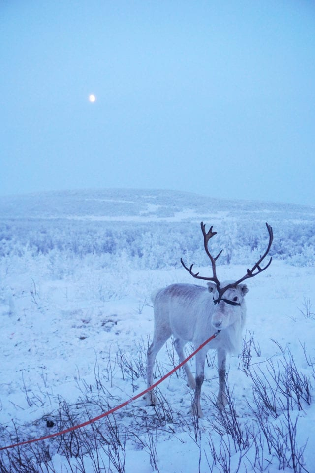 Reindeer via Kelley Louise: Impact Travel Alliance (link in photo)