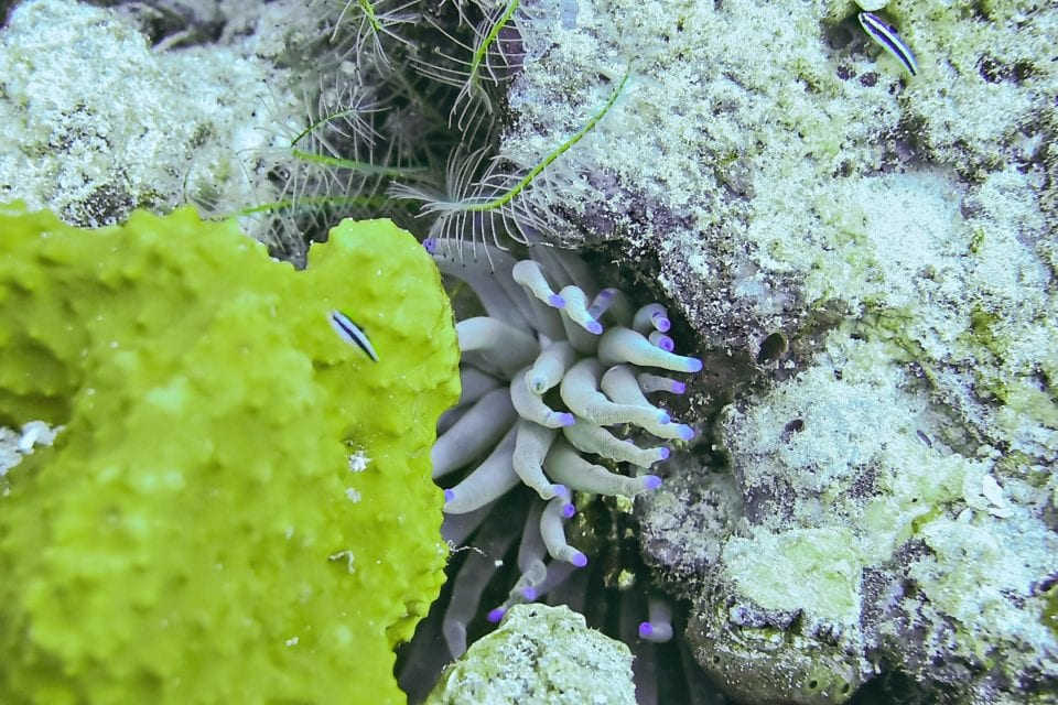 Sea Anemone on a coral reef