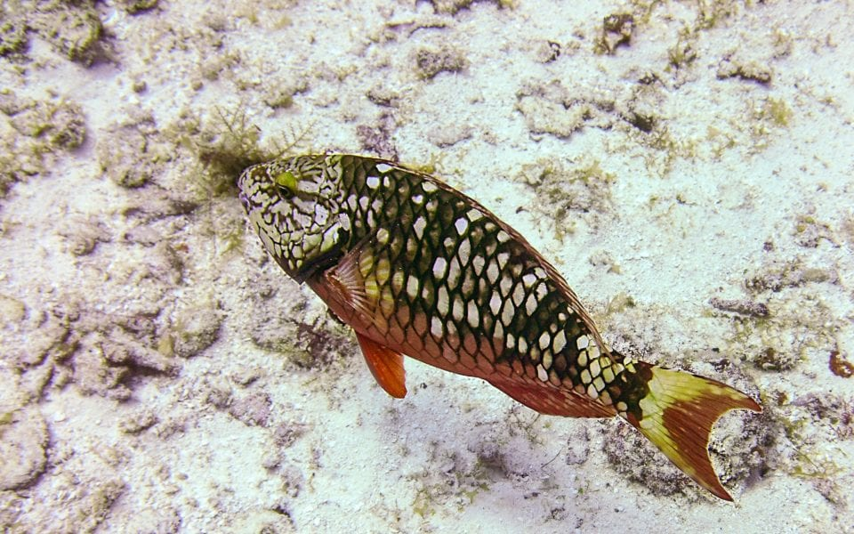 Spotted Parrotfish Cozumel
