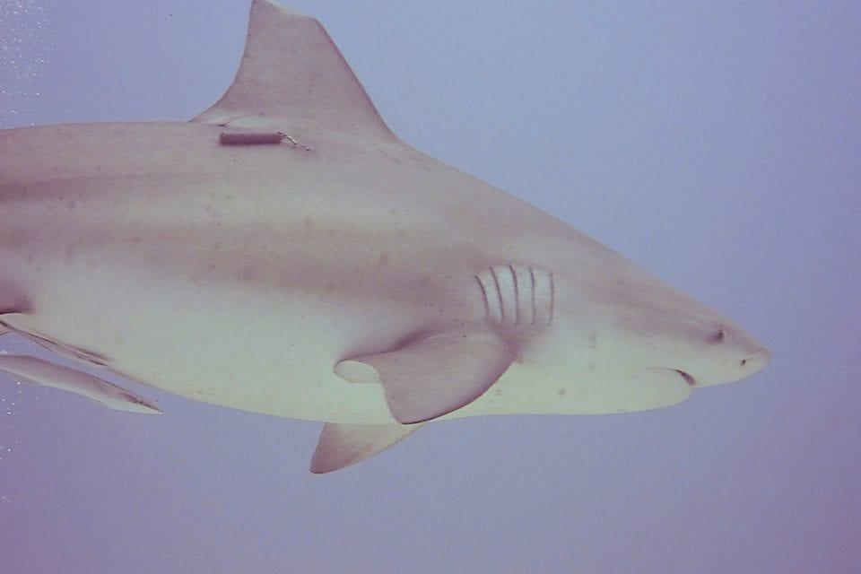Tagged Bull Shark
