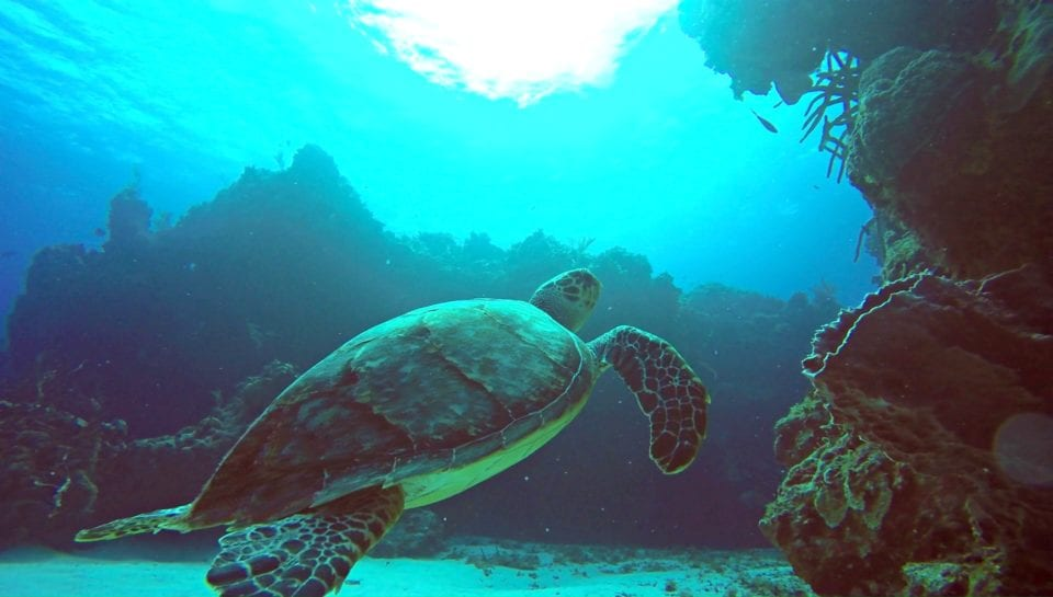 Turtle Cozumel via Scuba Life Cozumel