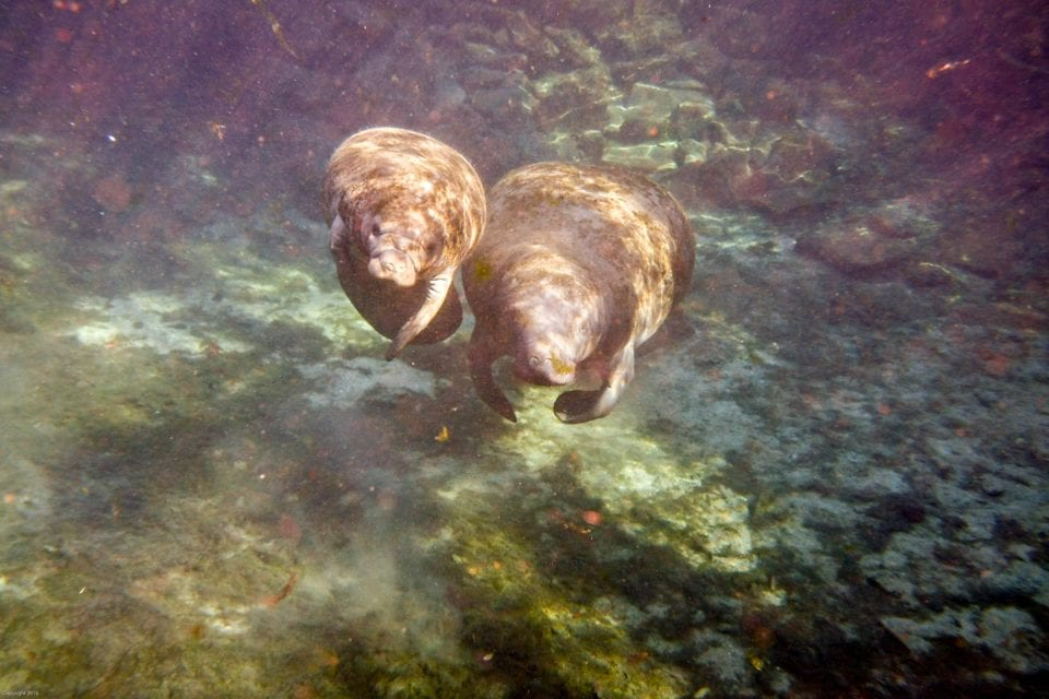 Two Manatees coming up up for air