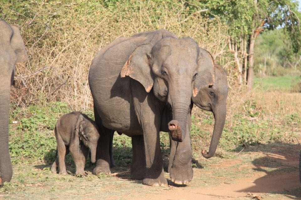 Elephant family at Udawalawe National Park - Photo by Cindy Collins @ Free Two Roam