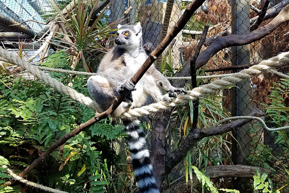 Lemur in the Madagascar Exhibit