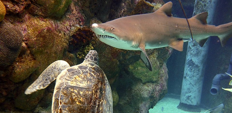 Shark vs turtle - who is the apex predator here