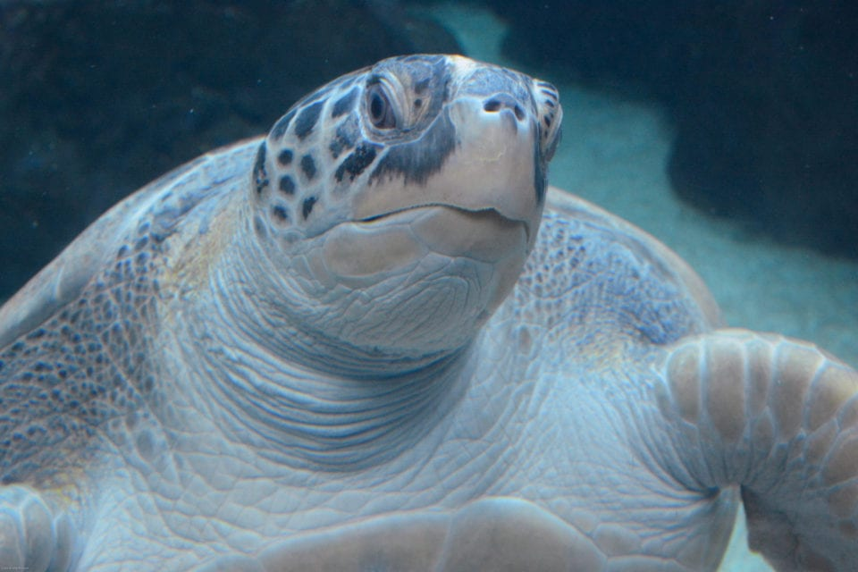 Turtle in Tank Florida Aquarium (photo @cathylwgorgensen)