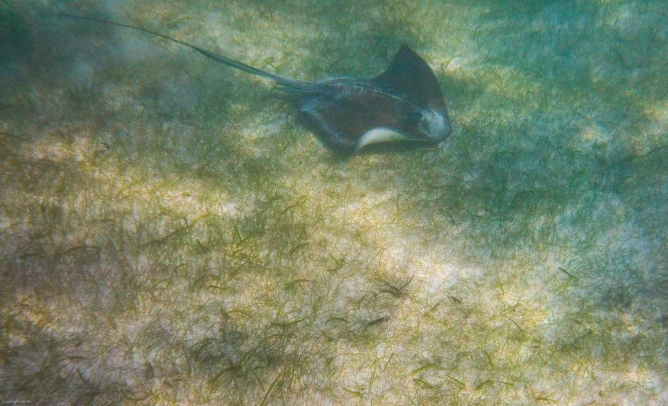 Akumal beach stringray