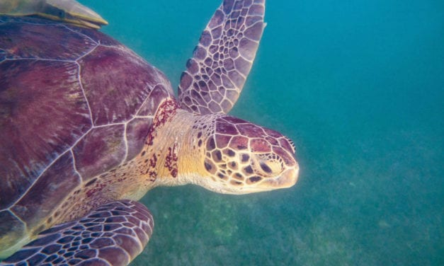 Akumal Beach- Snorkeling with Sea Turtles Ethically