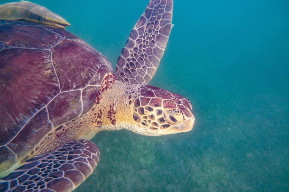 Sea-Turtle-coming-up-for-air-Akumal-Bay