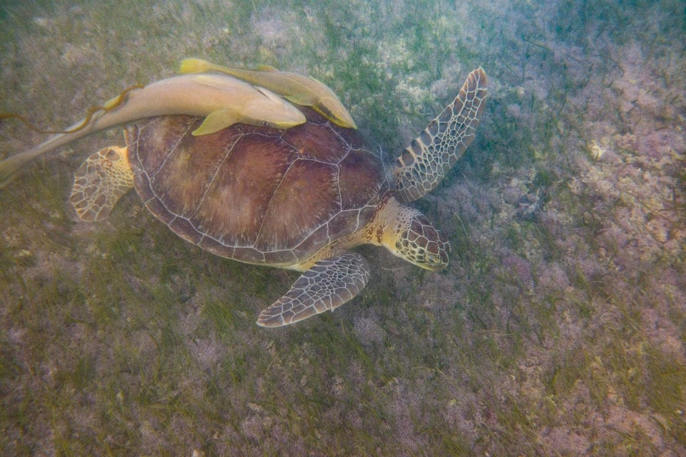 Akumal Bay Turtle with remora