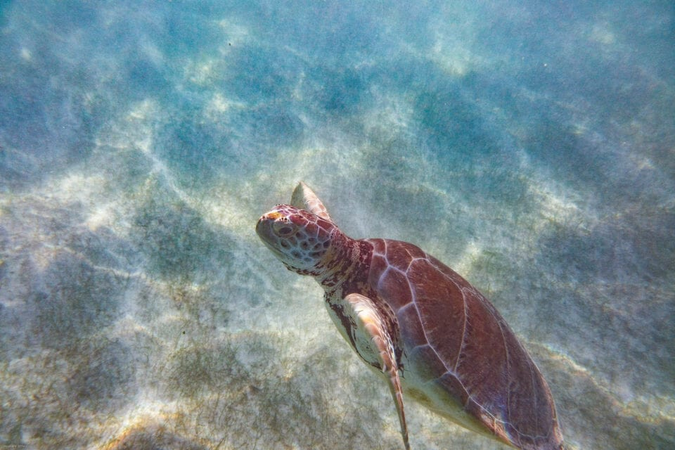 Turtle at Akumal Beach